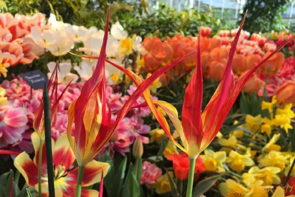 Тюльпаны. Репетиция весны – Аптекарский огород
