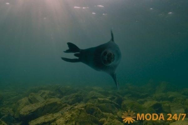 Байкальская нерпа под водой